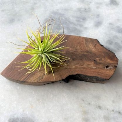 Air Plant with Wood Tray